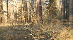Close up of pine branch in the forest Stock Footage