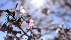 Cherry Blossoms Dolly 10 R Slow Motion 24fps Stock Footage