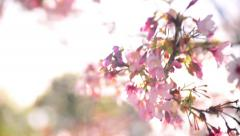 Cherry Blossoms Dolly 12 R Slow Motion 24fps Stock Footage