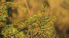 Close up of pine branch Stock Footage