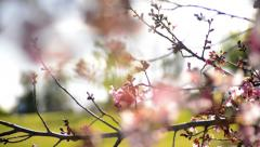 Cherry Blossoms Dolly 14 R Slow Motion 24fps Stock Footage