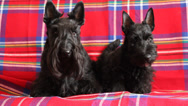 Stock Video Footage of two scottish terriers