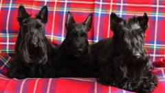 Family of three Scottish Terrier Stock Footage