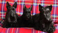 Stock Video Footage of family of three Scottish Terrier