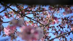 Cherry Blossoms Dolly 18 R Slow Motion 24fps Stock Footage