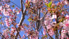 Cherry Blossoms Dolly 20 Foward Slow Motion 24fps Stock Footage