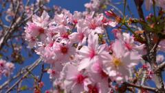 Cherry Blossoms Dolly 21 Foward Slow Motion 24fps Stock Footage