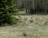 Stock Video Footage of Coyote (canis latrans) roaming along the forest edge