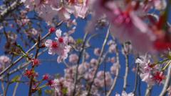 Cherry Blossoms Dolly 23 Back Slow Motion 24fps Stock Footage