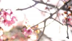 Cherry Blossoms Dolly 03 Left Slow Motion 24fps Stock Footage