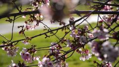 Cherry Blossoms Dolly 06 Left Slow Motion 24fps Stock Footage