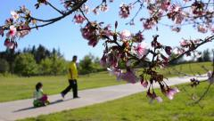 Cherry Blossoms 05 Slow Motion 24fps Stock Footage