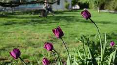 Purple tulip flowers and blurred gardener woman cut lawn mower Stock Footage
