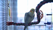 Stock Video Footage of Cockatiel Bird Walking on Rope in Cage