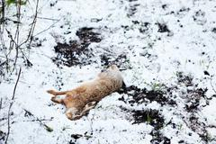 A shot rabbit at a battue is lying in the snow - stock photo