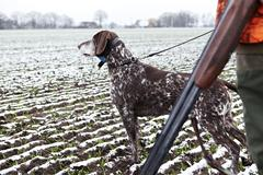 A gundog at a battue - stock photo