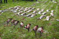 Shot bunnies and pheasants after a battue. - stock photo