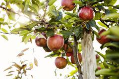 Juicy apples on a tree - stock photo