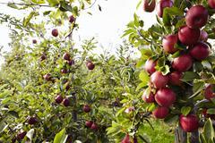 apple plantation at harvest time - stock photo