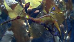 Sea Dragon Close Up Stock Footage