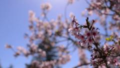 Cherry Blossoms 09 Slow Motion 24fps Stock Footage