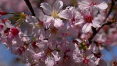 Cherry Blossoms 10 Slow Motion 24fps Stock Footage