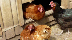 Chickens and hen house Stock Footage