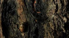 Cicada nymph climbing tree Stock Footage