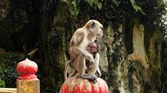 Kuala Lumpur Limestone Cave Batu Caves aggressive Monkeys at steps Malaysia Asia - stock footage