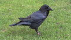 Amid nature - Raven in the Tower, London Stock Footage