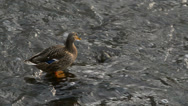 Stock Video Footage of duck in the creek