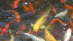 Closeup detail group koi fish eating swimming pond lake ornamental decorative  Stock Footage