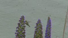 Small Hummingbird humming bird flying search pollen flower wildlife tiny tail  - stock footage