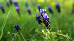 Muscari neglectum flowers in the spring garden Stock Footage