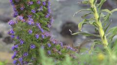 Hummingbird humming bird flying close up detail purple flower exotic island wild - stock footage