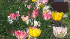 Yellow butterfly tulip flower bloom blossom wildlife insect collect pollen day Stock Footage