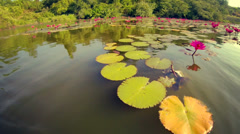 Floating around water lilies on lake in Thailand Stock Footage