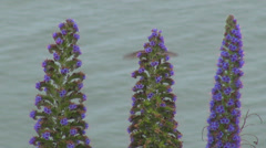 Hummingbird humming bird flying search food purple flower plant wild nature wild - stock footage