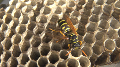 Isolated hornet bee wasp nest wildlife yellow insect honey comb empty house fly  Stock Footage