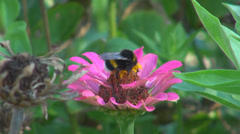 Big bee hornet collect nectar extract flower pink plant green summer day honey - stock footage