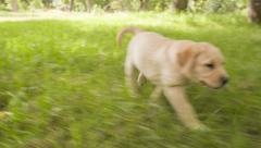 Puppy chasing tennis ball Stock Footage