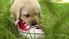 Puppy playing with shoe in slow motion Stock Footage