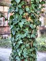 Stock Photo of Ivy