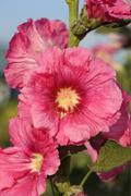 pink hollyhock (althaea rosea) blossoms - stock photo