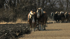 Draft horse teams pulling plows - stock footage
