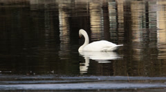 Swan swimming in pond Stock Footage