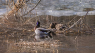 Stock Video Footage of wild mallard