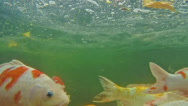 Stock Video Footage of Koi fish in a pond. Underwater scene.