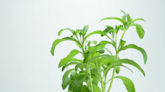 Stevia rebaudiana, the herbal support for sugar Stock Footage
