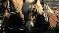 Belgian draft horses close up Stock Footage